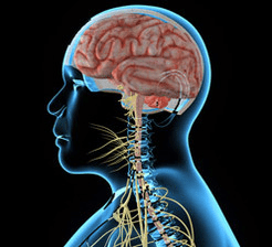 Human_nervous_system