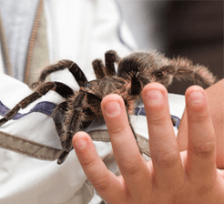 Touching tarantula