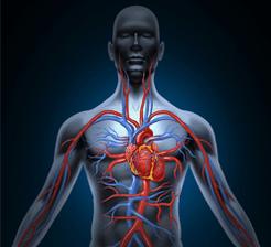 Human_heart_circulation