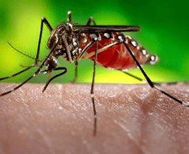 Zika-carrying_mosquito._source-_usa.gov
